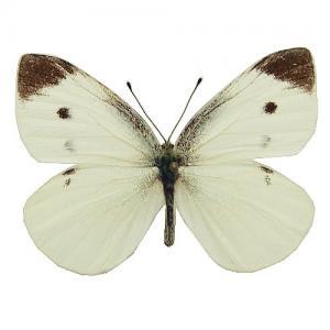 モンシロチョウ 蝶の標本 販売通販のnatureshopモルフォやキプリス